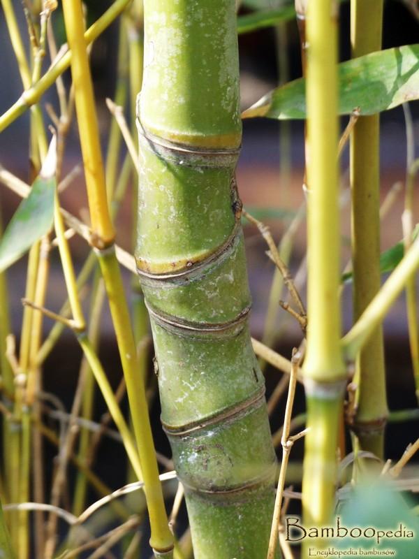 phyllostachys_aurea_bambus_ogrodowy_2