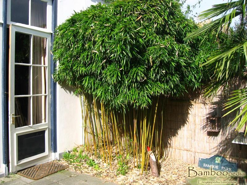 bambus_aureosulcata_aureocaulis