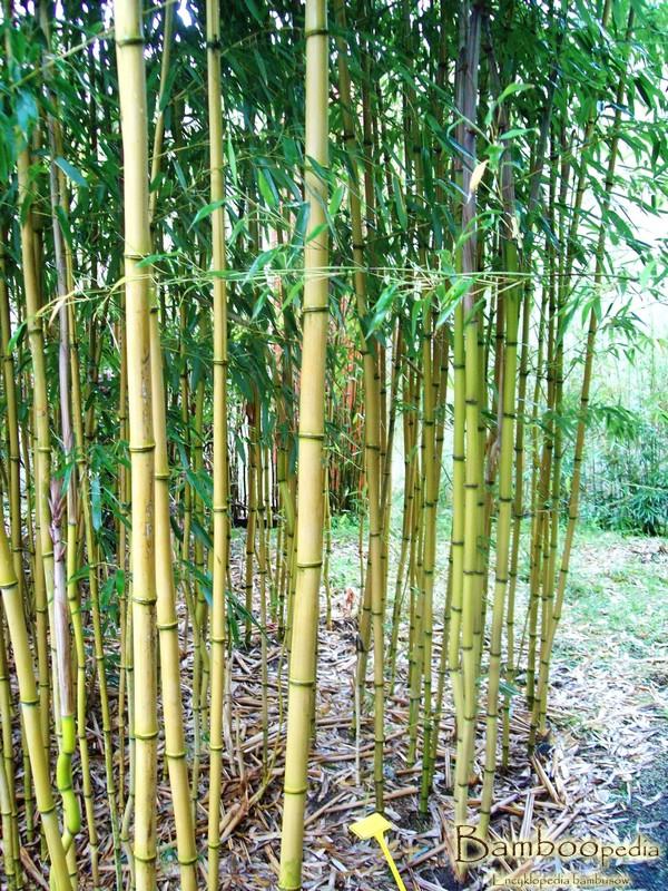 bambus_phyllostachys_aureosulcata_aureocaulis