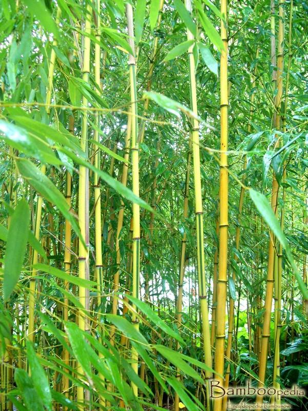 bambus_phyllostachys_aureosulcata_spectabilis_11