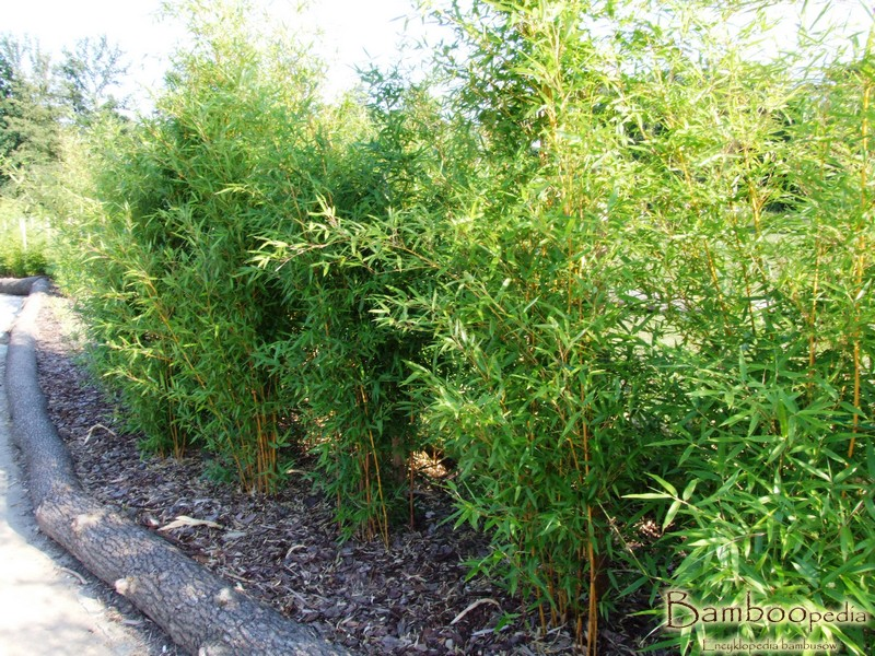 bambus_spectabilis_zoo_opole