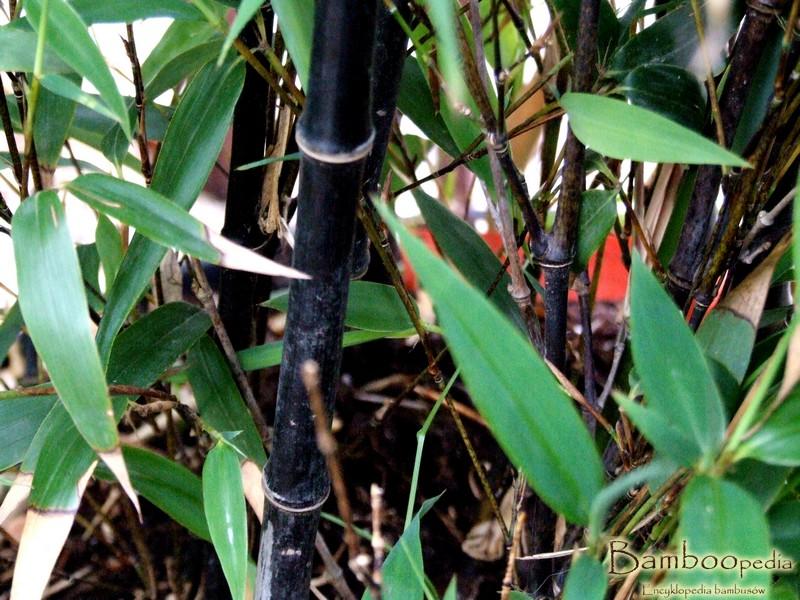_czarny_bambus_phyllostachys_nigra_3