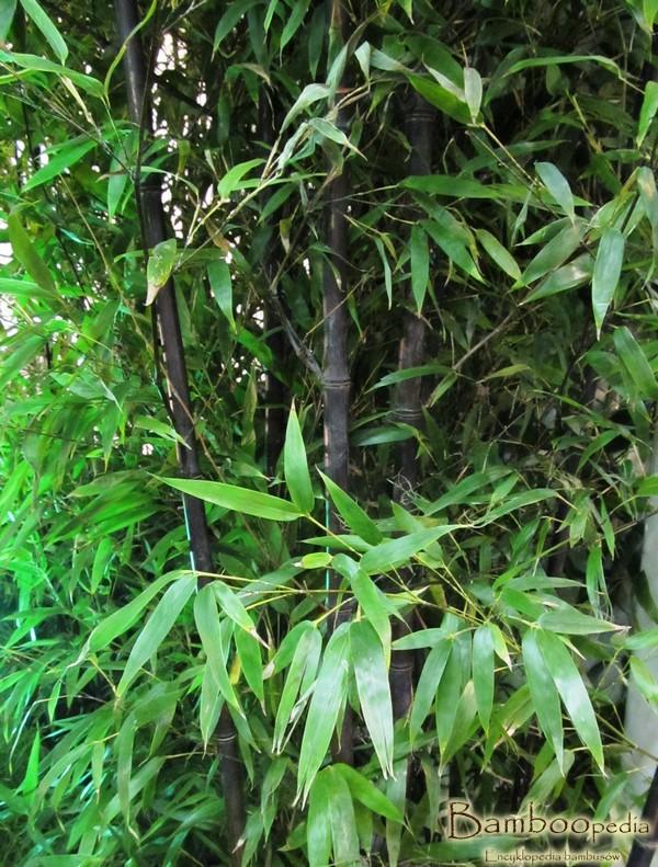 _czarny_bambus_phyllostachys_nigra_6