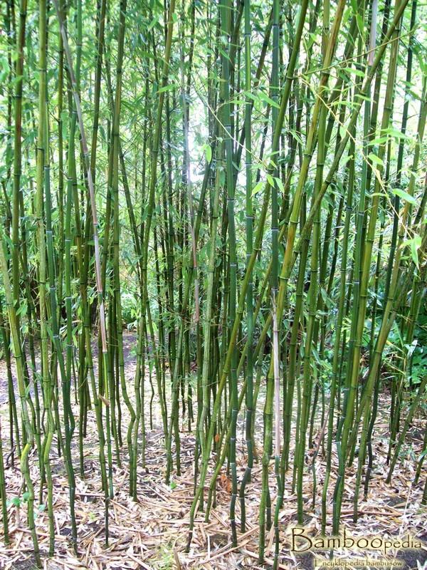 bambus_phyllostachys_nuda