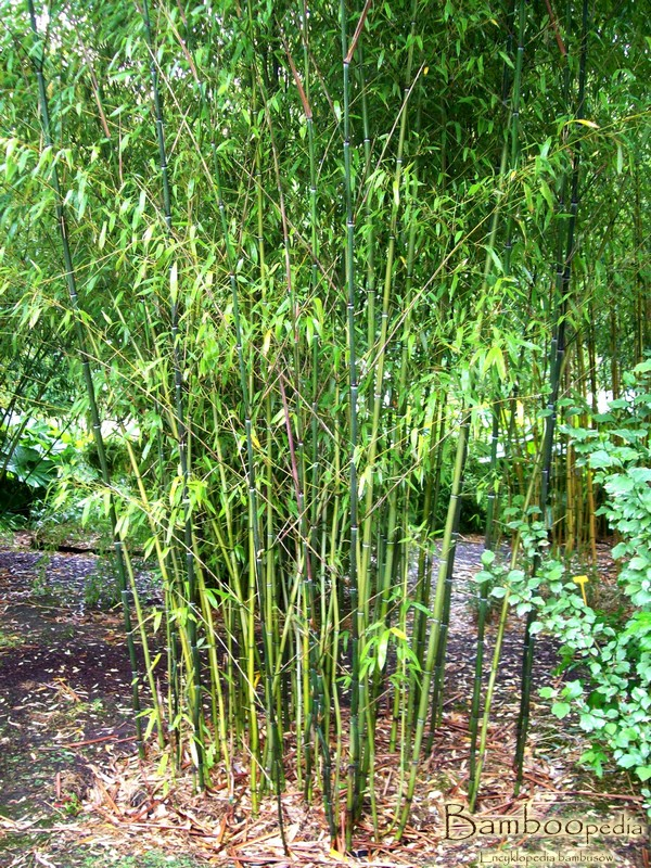 bambus_phyllostachys_nuda_2