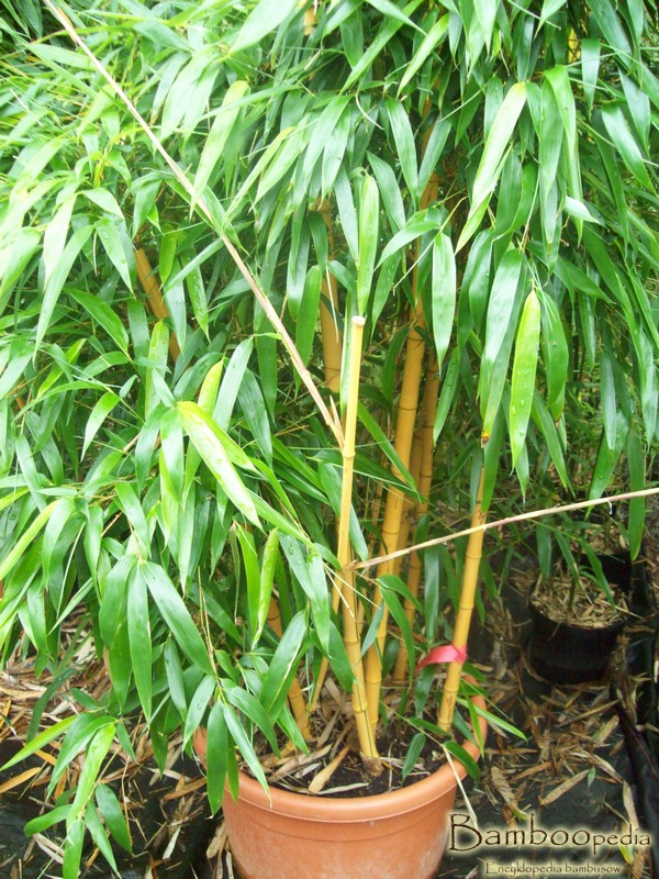 bambus_drzewiasty_phyllostachys_vivax_aureocaulis_donica