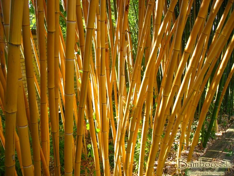 bambus_drzewiasty_phyllostachys_vivax_aureocaulis_donica_