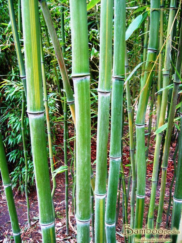 bambus_drzewiasty_phyllostachys_vivax_huanwhenzu_2