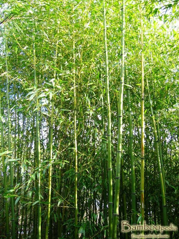 bambus_drzewiasty_phyllostachys_vivax_huanwhenzu_9