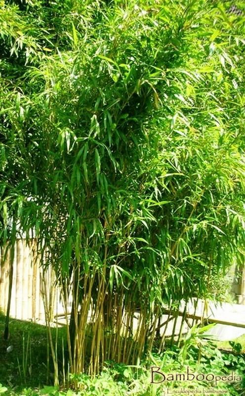 kimmei_bambus